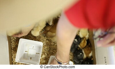 Baby Chicken Chicks in a Cardboard Box Being Taken in and...