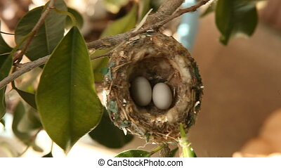 2 Hummingbird Eggs in a Nest in a Tree