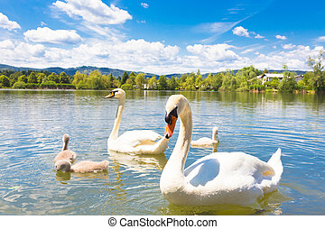 Swans with nestlings in Ljubljana - Swan family swimming in...