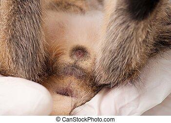 Veterinary survey of little kitten close-up