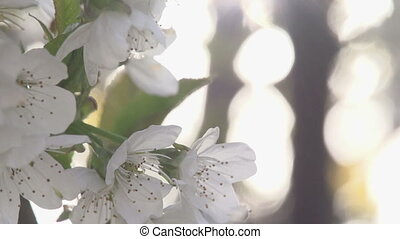 Spring Dreams - Cherry flowers close up in bright sunlight....