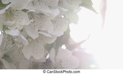 Solar Bloom - Cherry flowers close up in bright sunlight...