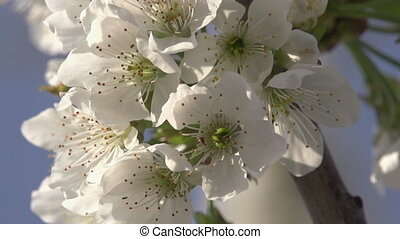 Spring Flowers - Cherry flowers close up in bright sunlight....