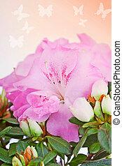 flor, Cor-de-rosa, azaléia, fim, cima, contra,...