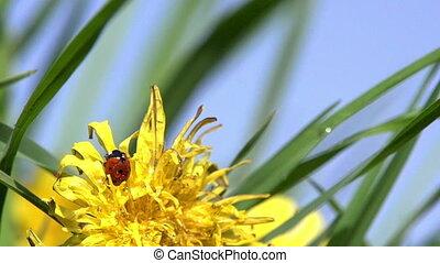 Ladybug on Dandelion - Ladybug sits on a yellow dandelion...