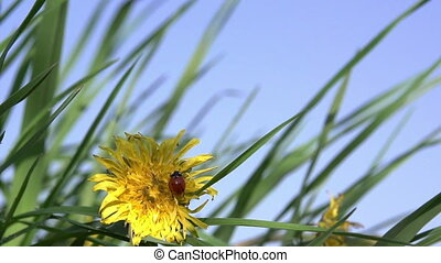 Ladybird and Dandelion - Ladybug crawling on a yellow...