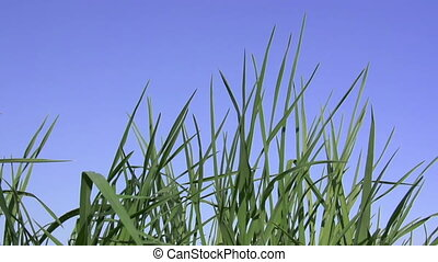 Juicy Grass - Juicy young grass against a clear blue sky....