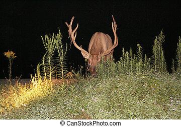 Bull Elk Antler Width - A grazing Bull elk with a view of...