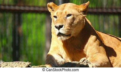 Lioness resting in her open-air cage at the Zoo.