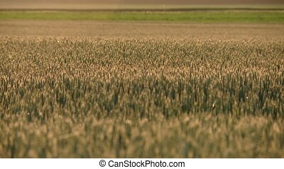 Grainfield with sundown - video footage of a grainfield in...