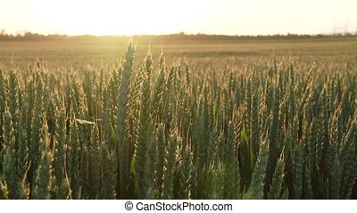 Grainfield Industrial agriculture - video footage of a...