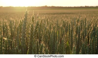 Grainfield in backlight - Field with grain (grainfield)...