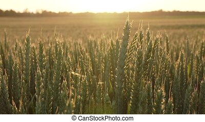 Grainfield in summer - video footage of a grainfield in...