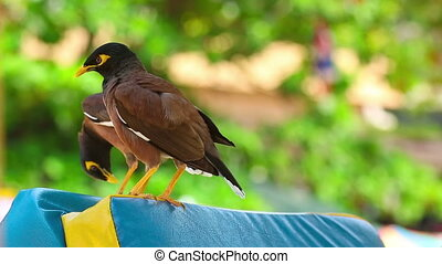 Common Myna - Two Common Myna birds (Acridotheres tristis),...