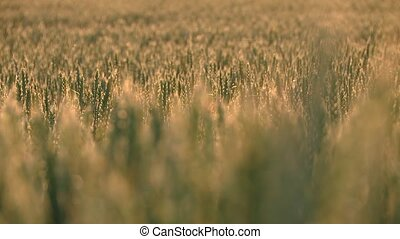 Industrial agriculture Grainfield - video footage of a...