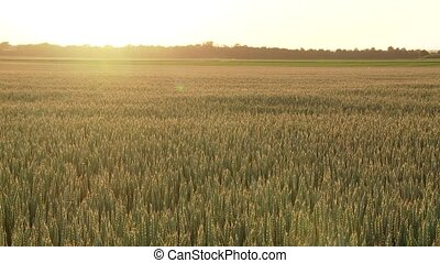 Grainfield in sunset - video footage of a grainfield in...
