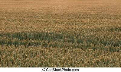 Grainfield (Industrial agriculture) - grainfield video...