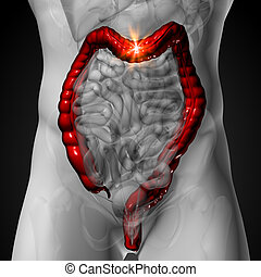 Colon / Large Intestine - Male anatomy of human organs -...