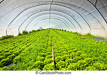 Rows of salad