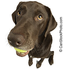 Dog sitting with tennis ball - Dog with tennis ball isolated...