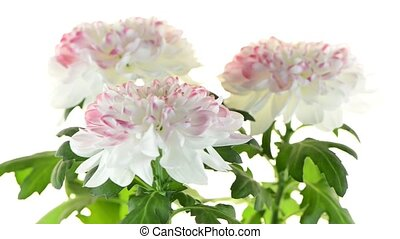 Beautiful Chrysanthemum flowers - Beautiful Chrysanthemum...