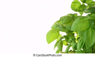 Green fresh basil in flowerpot, isolated on white