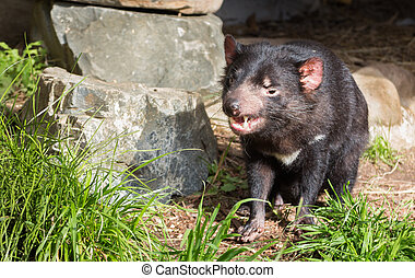 Tasmanian Devil showing his clean teeth