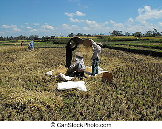 Harvesting Rice - Harvesting rice in Bali. I came across...