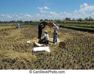 Harvesting Rice - Harvesting rice in Bali. I came across...