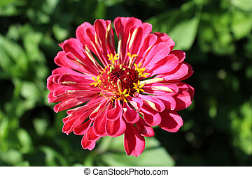 zinnia zed beautiful flower - beautiful and red flower of...