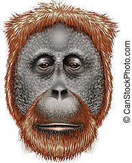 An orangutan - Illustration of an orangutan on a white...