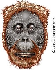 An orangutan - Illustration of an orangutan on a white...