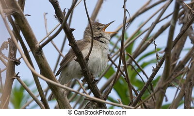 Nightingale - The nightingale (Luscinia megarhynchos) sings...