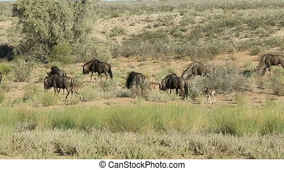 Blue wildebeest walking - Blue wildebeest Connochaetes...