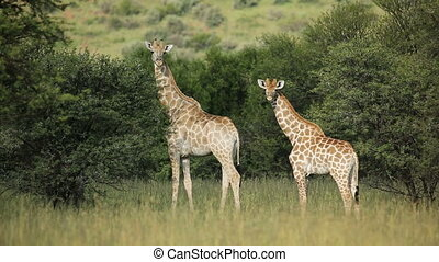 Giraffe family Giraffa camelopardalis in natural habitat,...