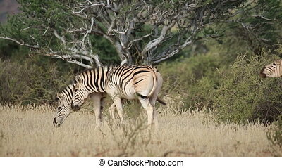 Plains Zebras walking - Plains (Burchells) Zebras (Equus...