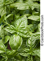 Green basil - Close up of big green basil leaves