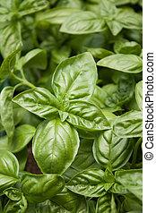 Green basil - Close up of big green basil leaves