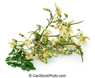 Edible moringa flower with green leaves