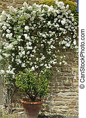 flowering white garden rose creeper on antique stone wall,...