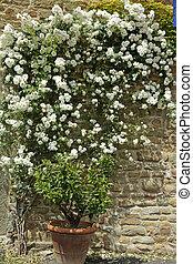 Flowering, biały, ogród, róża, Pnącze,...