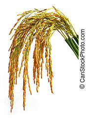 Paddy seeds over white background