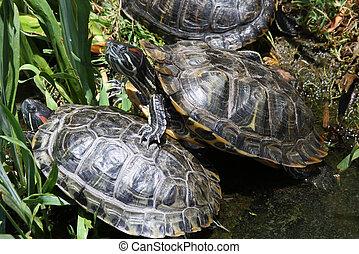 Red Eared Slider Turtles Basking in the Sun Light