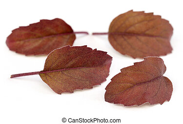 Medicinal red tulsi leaves over white background