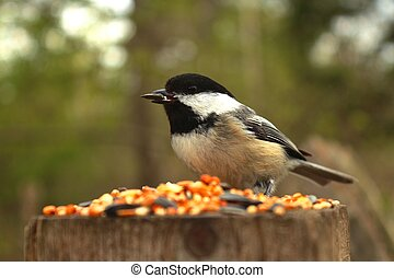 Chickadee eating seeds