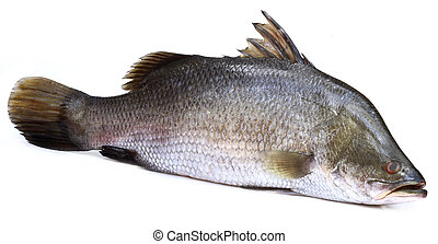 Barramundi or Koral fish of Southeast Asia over white...