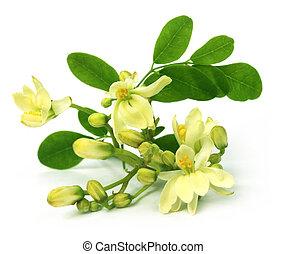 Edible moringa flower over white backgrokund