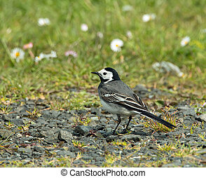 White Wagtail - Adult White Wagtail in sunlight.