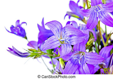 Bouquet of Campanula - Purple campanula flowers isolated on...