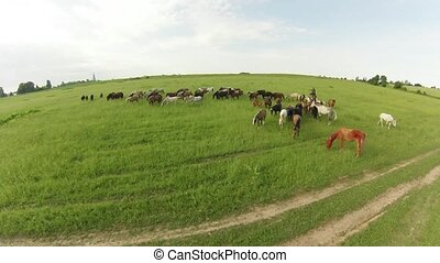 Horses graze in the meadow. Summer landscape. Air view